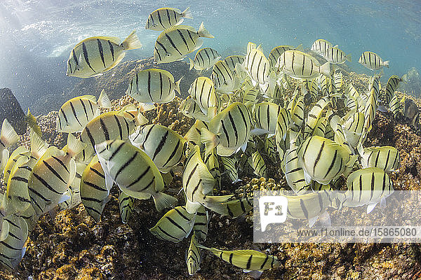 A large school of convict tang (Acanthurus triostegus) on the only living reef in the Sea of Cortez  Cabo Pulmo  Baja California Sur  Mexico  North America