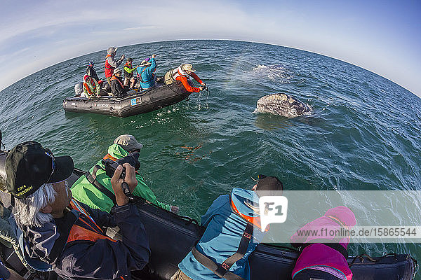 California gray whale (Eschrichtius robustus)  surfacing with excited whale watchers in San Ignacio Lagoon  Mexico  North America
