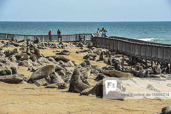 Fur Seals and tourists at Cape Cross Seal Colony  Skeleton Coast; Namibia