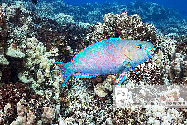 The terminal or final phase of a Palenose parrotfish (Scarus psittacus); Hawaii  United States of America
