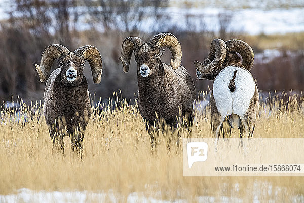 Bighorn Sheep rams (Ovis canadensis) stand together during the rut near Yellowstone National Park; Montana  United States of America