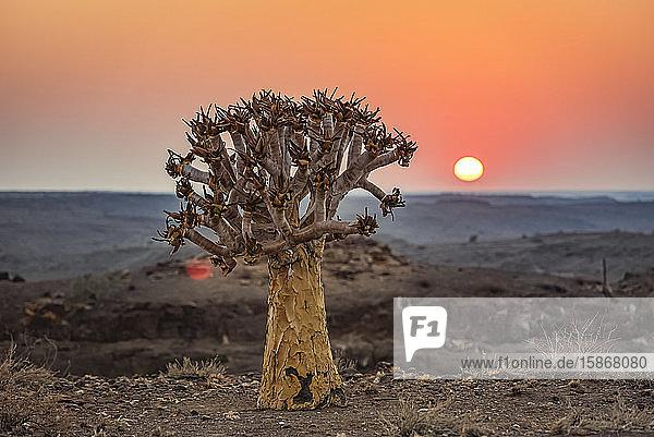 Quiver Tree (Aloidendron dichotomum)  Hardap Resort  Hardap Region; Namibia