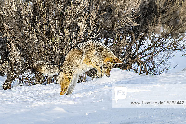 Coyote (Canis latrans) leaps in the air while hunting mice in Yellowstone National Park; Wyoming  United States of America