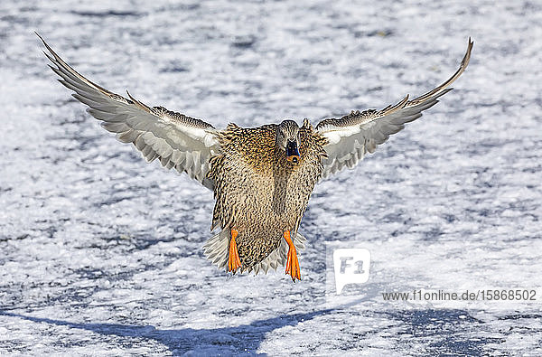 Female mallard (Anas platyrhynchos) landing on snow and ice; Denver  Colorado  United States of America