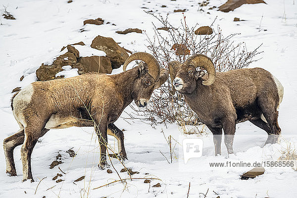 Two Bighorn Sheep rams (Ovis canadensis) stand off against each other during the rut in the North Fork of the Shoshone River valley near Yellowstone National Park; Wyoming  United States of America