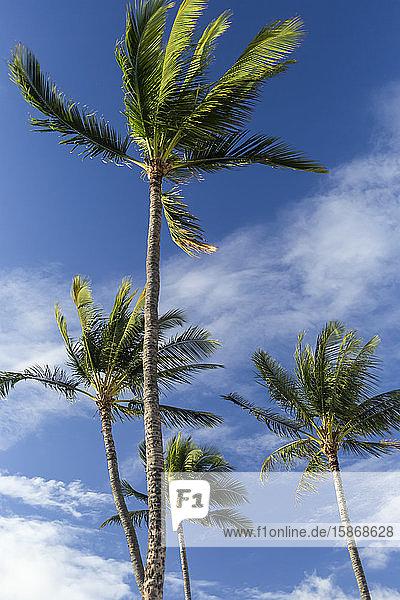 Palm trees with blue sky and cloud  Kamaole Beach Park; Kihei  Maui  Hawaii  United States of America