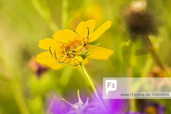 Yellow Crab Spider (Thomisus callidus) on a yellow flower in Cave Creek Canyon in the Chiricahua Mountains near Portal; Arizona  United States of America