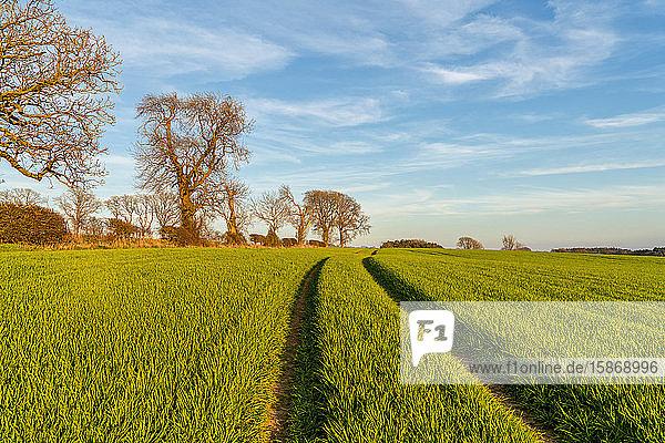Tire tracks through green plants on a field; Ravensworth  North Yorkshire  England