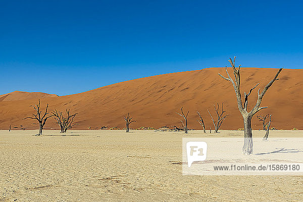 Deadvlei  a white clay pan surrounded by the highest sand dunes in the world and camel thorn trees (Vachellia erioloba)  Namib Desert; Namibia