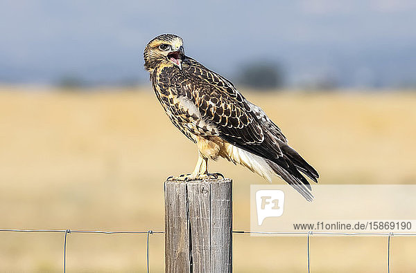 Red-tailed hawk (Buteo jamaicensis) standing on a wooden fence post; Fort Collins  Colorado  United States of America