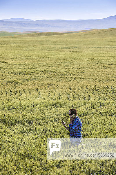 Farmer standing in a wheat field using a phone and inspecting the yield; Alberta  Canada