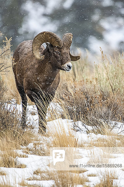 Bighorn Sheep ram (Ovis canadensis) approaches through a sagebrush meadow on a snowy day in the North Fork of the Shoshone River valley near Yellowstone National Park; Wyoming  United States of America