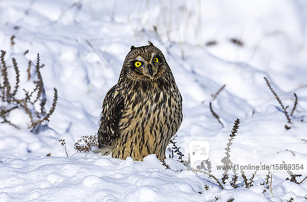 Short-eared owl (Asio flammeus) standing in snow; Fort Collins  Colorado  United States of America
