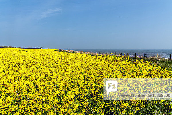 Canola field with bright yellow blossoms along the shoreline of the River Tyne; South Shields  Tyne and Wear  England