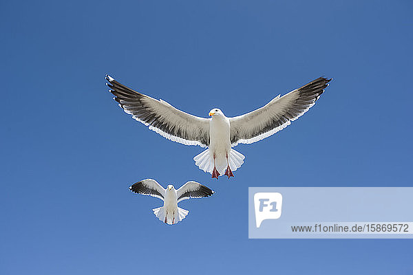 Pair of Western Gulls (Larus occidentalis) flying against a blue sky; Morro Bay  California  United States of America