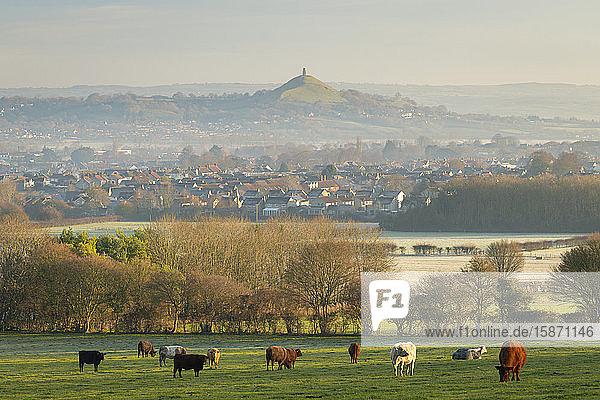 Cattle grazing on farmland near Glastonbury in winter  Somerset  England  United Kingdom  Europe