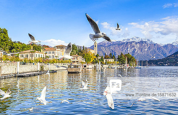 Seagulls fly over the water of the lake with the village of Tremezzo in the background  Lake Como  Lombardy  Italian Lakes  Italy  Europe