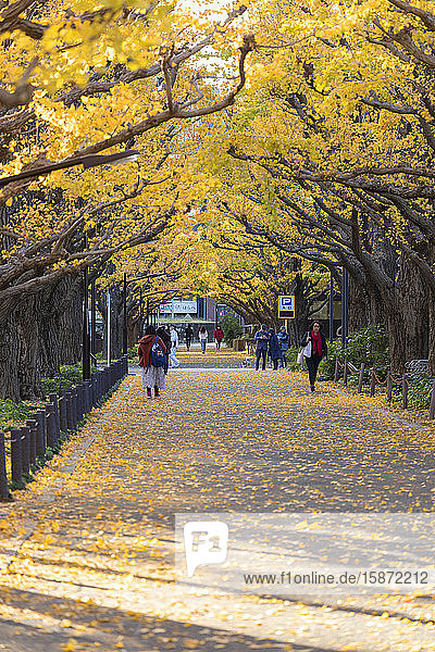 Autumnal ginkgo trees in Meiji Jingu Gaien  Tokyo  Honshu  Japan  Asia