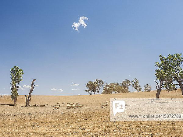 Sheep in dry field