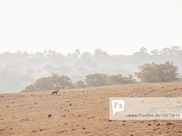 Fox in dry field