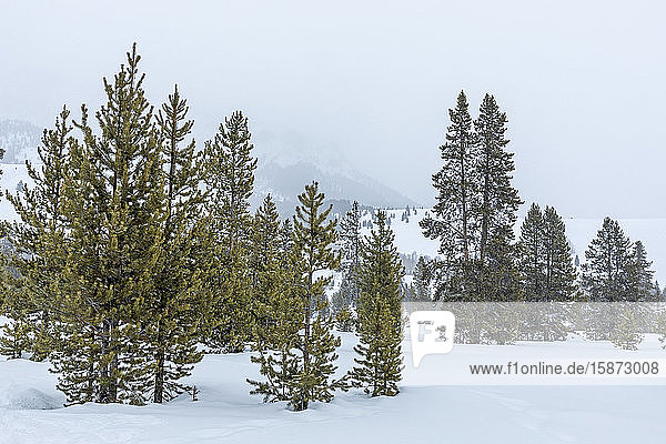 Pine trees in snow Pine trees in snow