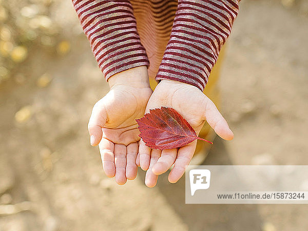 Hands of boy holding autumn leaf