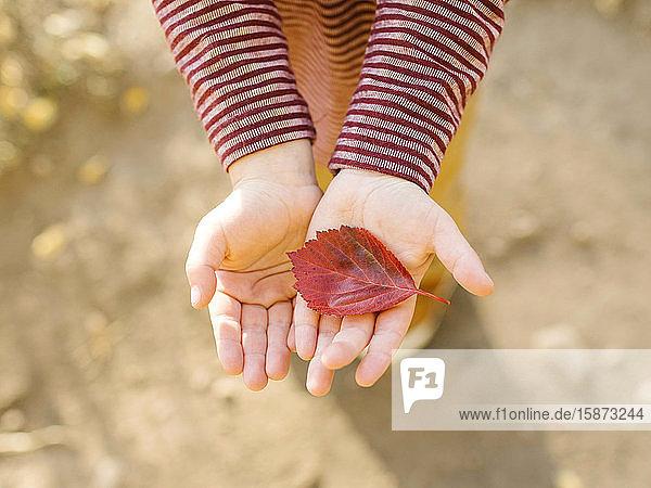 Hands of boy holding autumn leaf