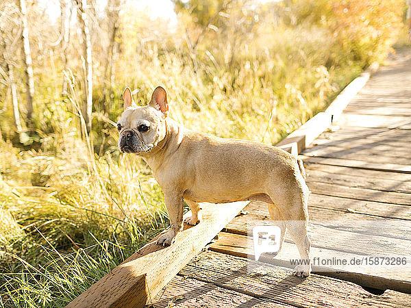 French bulldog on forest boardwalk French bulldog on forest boardwalk