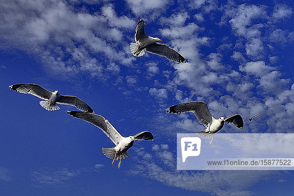 Thassos Island  Greece  Europe  seagulls flying in the sky of the Aegean sea