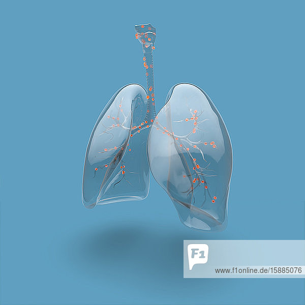 Illustration of human lungs and bronchial tree highlighted  on blue background
