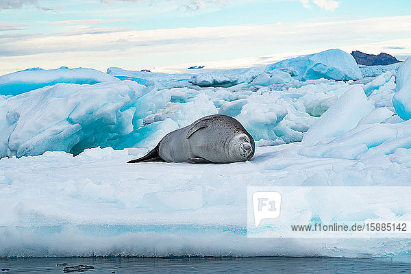 Crabeater Seal (Lobodon carcinophaga) lying on an iceberg in Antarctica.