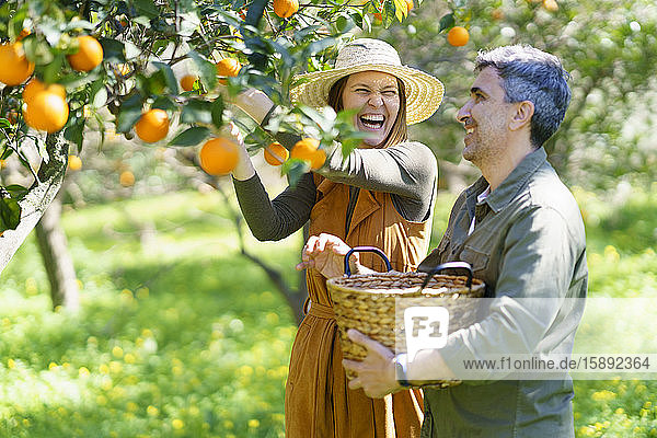 Happy couple picking organic oranges from a tree in the countryside