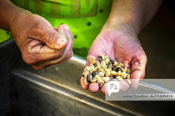 Hands showing different stages of coffee making in Topes de Collantes  Trinidad  Republic of Cuba  Caribbean  Central America.