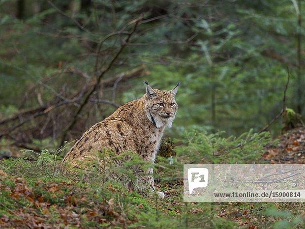 Eurasischer Luchs (Lynx lynx ) im Winter im Nationalpark Bayerischer Wald. Europa  Mitteleuropa  Deutschland  Bayern.
