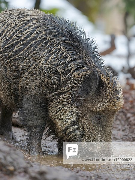 Wild Boar (Eurasian wild pig  Sus scrofa) during winter in high forest. NP Bavarian Forest  enclosure. Europe  Germany  Bavaria.