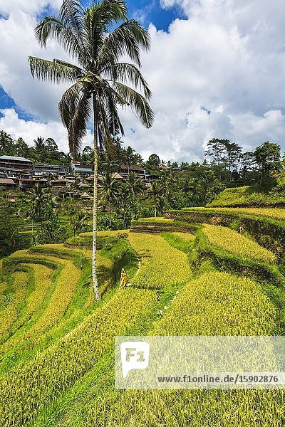 Rice fields at Tegallalang Rice Terrace  Bali  Indonesia.