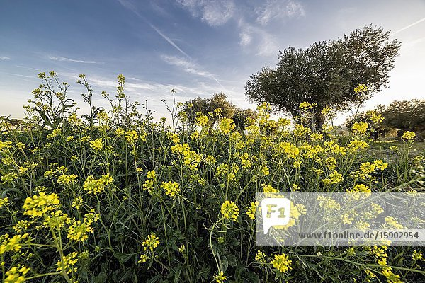 Olive trees behind wild yellow flowers at the end of winter. Pinto. Madrid. Spain. Europe.
