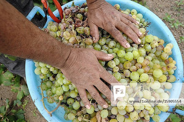 Pantelleria  Trapani province  Sicily  Italy  Europe  grape harvest for the production of passito in the Mueggen district. Pantelleria, Trapani province, Sicily, Italy, Europe, grape harvest for the production of passito in the Mueggen district.