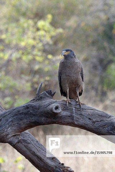 Crested Serpent Eagle (Spilornis cheela)  Tadoba Andhari Tiger Reserve  Maharashtra state  India.