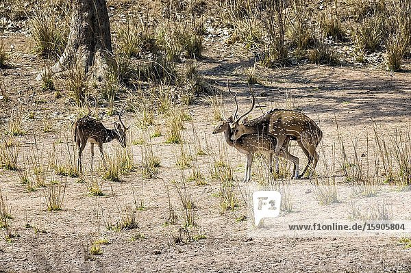 Mating Chital or Spotted deer (Axis axis),  Bandhavgarh National Park,  Madhya Pradesh,  India.