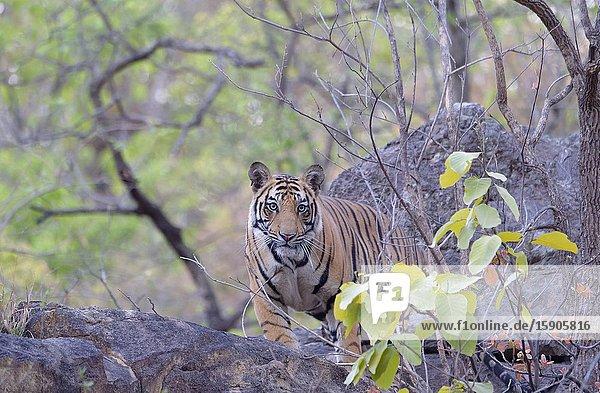 Young Bengal tiger (Panthera tigris tigris) in the forest  Bandhavgarh National Park  Madhya Pradesh  India.