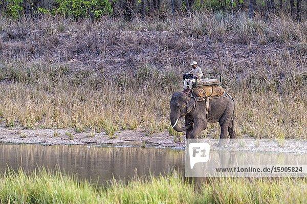 Park ranger conducting an elephant  Bandhavgarh National Park  Madhya Pradesh  India.