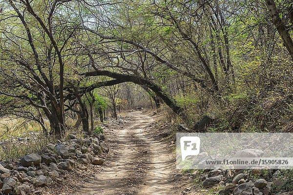 Ranthambhore National Park  Path  Rajasthan  India.