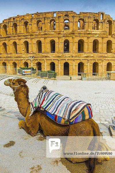 Camel and amphitheatre of El Jem. El Jem. Tunisia  Africa.