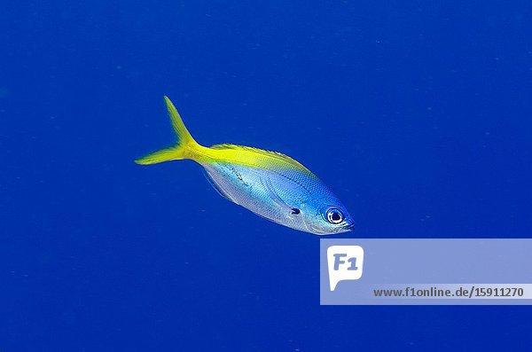 Blue and Yellow Fusilier (Caesio teres)  Pasir Tidore dive site  Weda  Halmahera  North Maluku  Indonesia  Halmahera Sea.