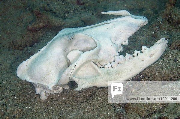 Dog (Canis lupus familiaris) skull with fractured intermaxillary bones  Gemaf dive site  Weda  Halmahera  North Maluku  Indonesia  Halmahera Sea.
