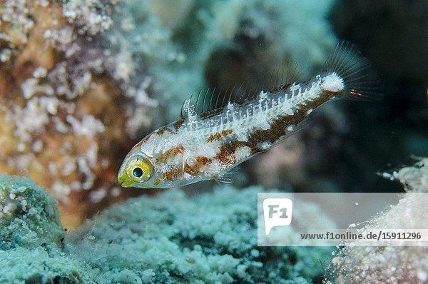 Juvenile Parrotfish (Scaridae Family)  Loleo dive site  Weda  Halmahera  North Maluku  Indonesia  Halmahera Sea.