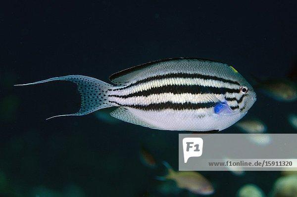 Blackstriped Angelfish (Genicanthus lamarck)  Gorango Kecil dive site  Weda  Halmahera  North Maluku  Indonesia  Halmahera Sea.