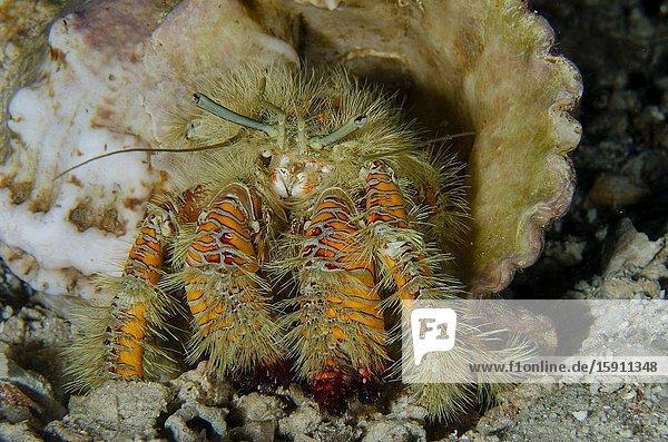 Hairy Yellow Hermit Crab (Aniculus maximus) in shell  Elmoost dive site  Weda  Halmahera  North Maluku  Indonesia  Halmahera Sea.