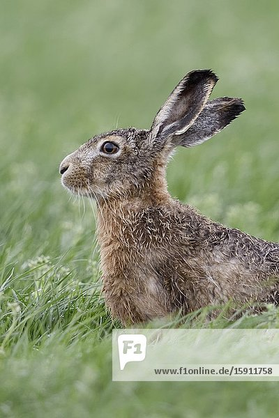 Hare / Brown Hare / European Hare ( Lepus europaeus ) sitting in a meadow  watching attentively  nice side view  wildlife  Europe.